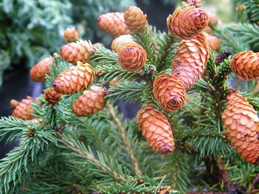 Spruce Norway Dwarf Pusch Wilsons Garden Center