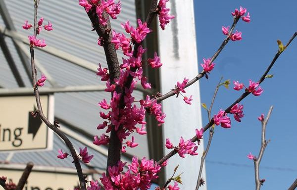 Redbud, Eastern 'Appalachian Red'