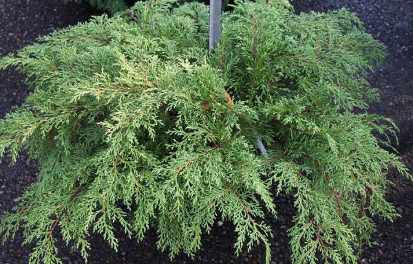 Siberian Cypress