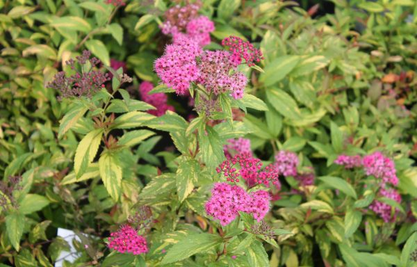 Spirea, Double Play 'Painted Lady'®