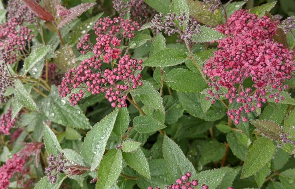 Spirea, Double Play 'Red'®