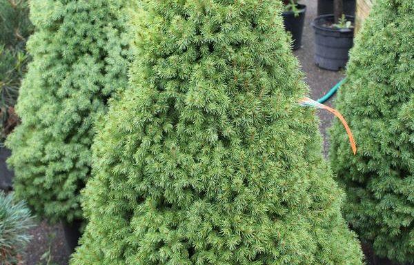 Spruce, Dwarf 'Alberta'