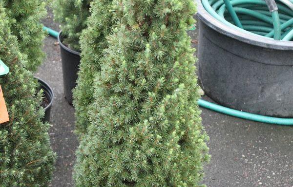 Spruce, Dwarf Alberta 'Jean's Dilly'