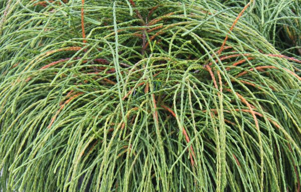 Arborvitae, Western 'Whipcord'
