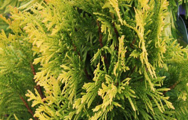 Arborvitae 'Forever Goldy'