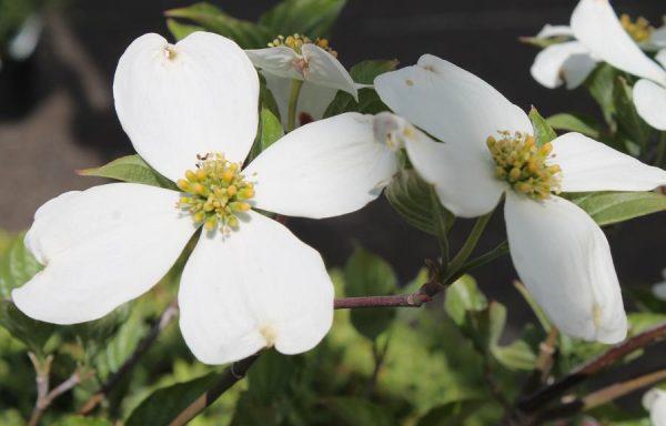 Dogwood 'White Flowering'