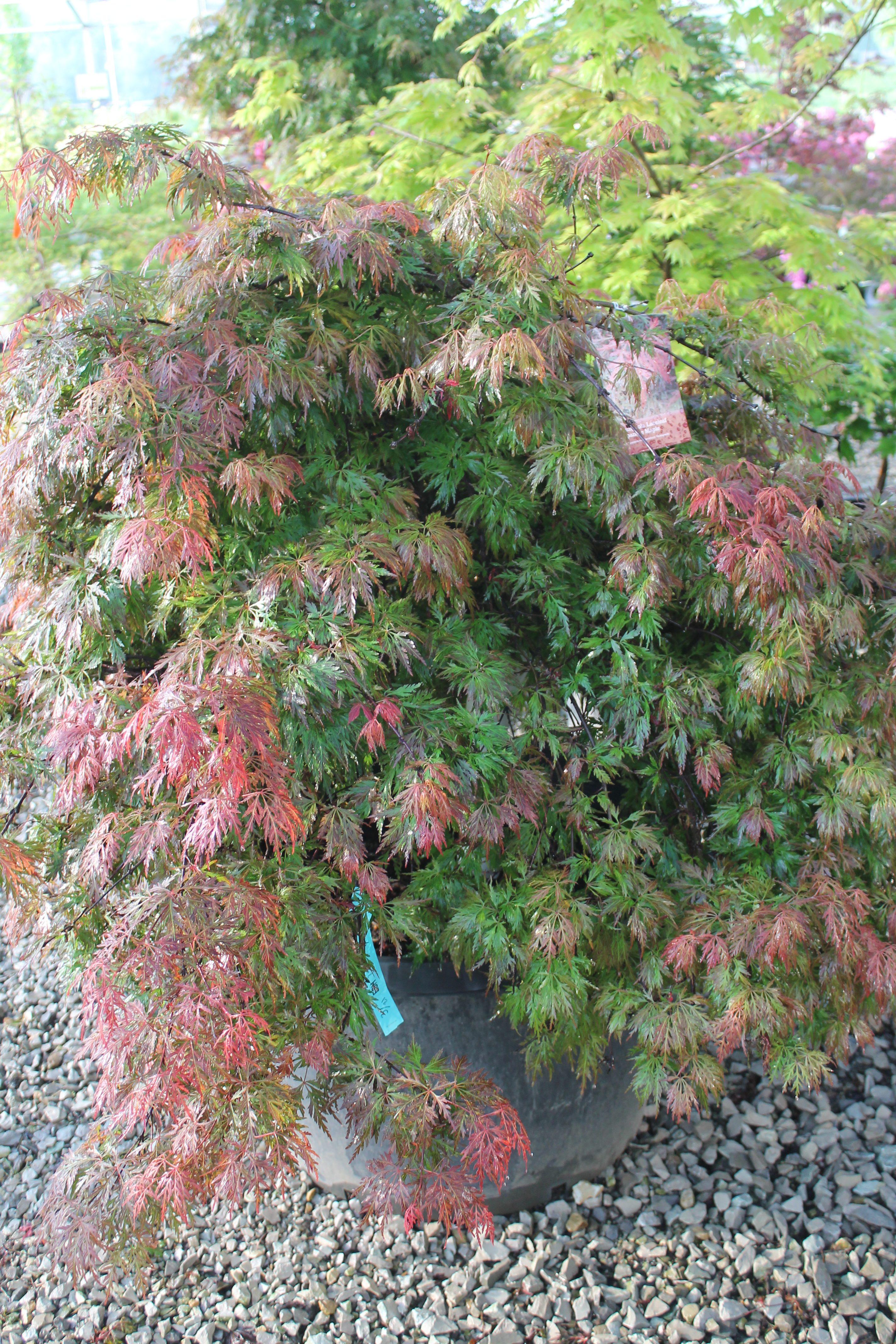 Maple Japanese Orangeola Wilsons Garden Center