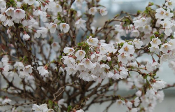 Cherry, Flowering 'Little Twist'®