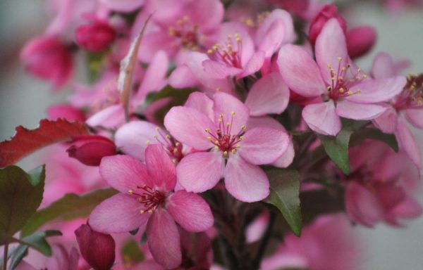 Crabapple 'Royal Raindrops'®