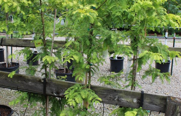 Dawn Redwood 'Gold Rush'
