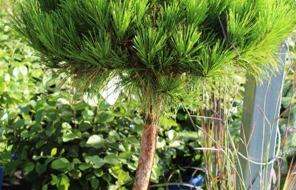 Pine 'Compact Tanyosho'