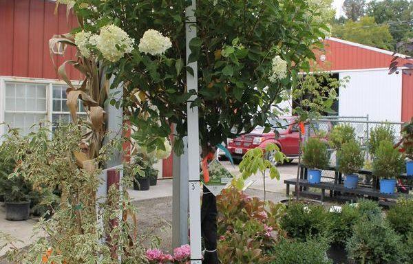 Hydrangea, Tree 'Limelight'
