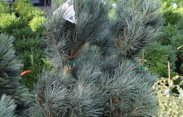 Pine, Macedonian 'Pacific Blue'