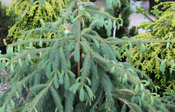 Spruce, Engelmann 'Bush's Lace'