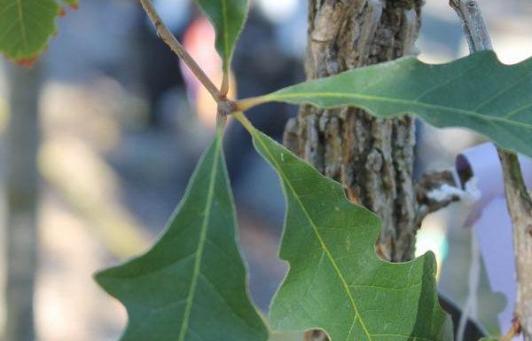 Oak 'Burr'