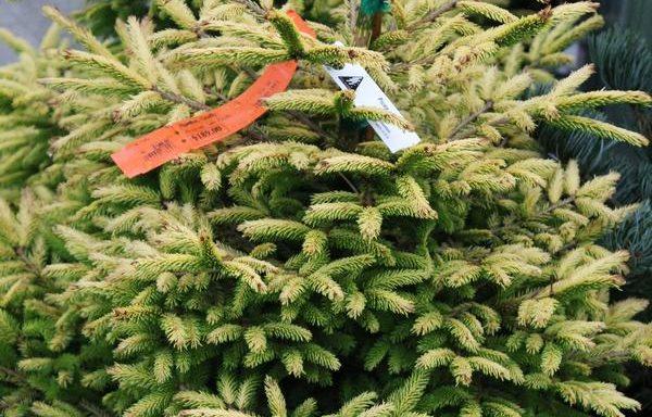 Spruce, Oriental 'Firefly'
