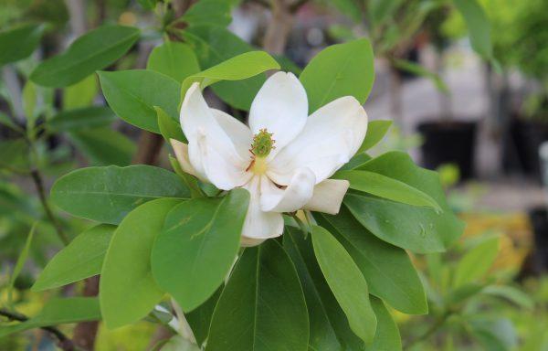 Magnolia 'Sweetbay'