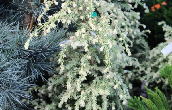 Hemlock, Canadian 'Summer Snow'