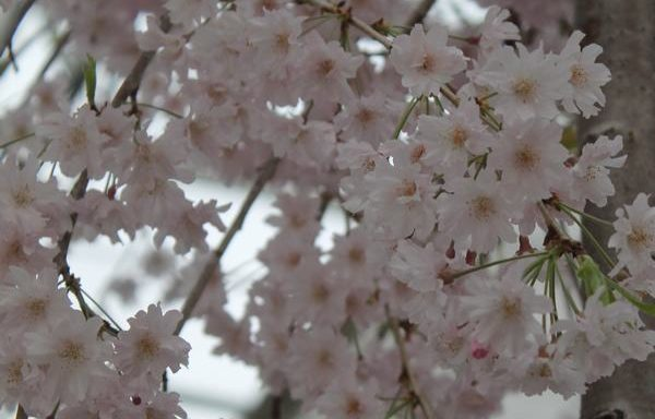 Cherry, Weeping 'Pink Double'