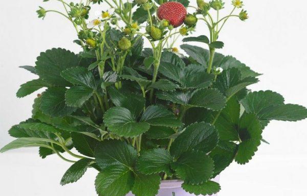 Strawberry 'Delizz'