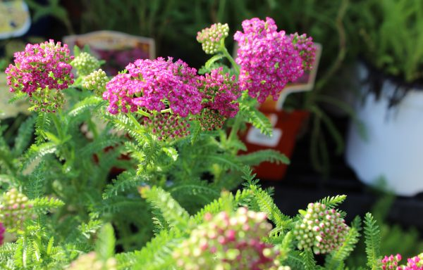 Yarrow, New Vintage™ 'Violet'