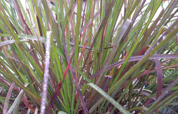 Grass, Blue Stem 'Red October'