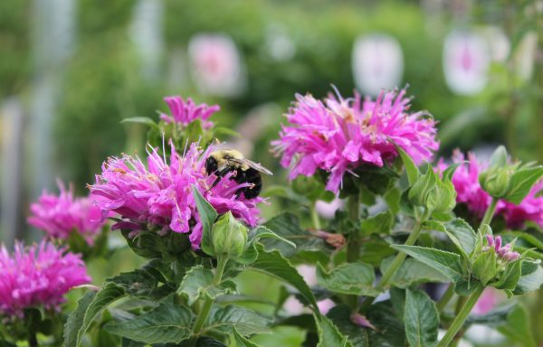 Bee Balm, Sugar Buzz® 'Grape Gumball'