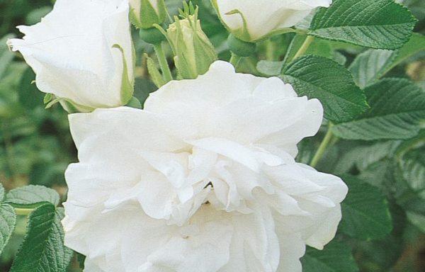 Rose 'Blanc Double De Coubert'
