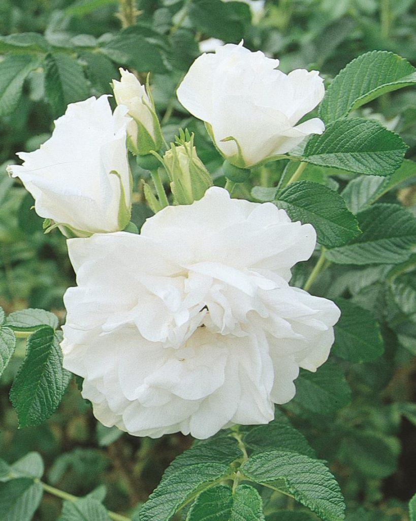 Rose Blanc Double De Coubert Wilson 39 S Garden Center
