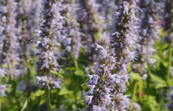 Hyssop, Anise 'Blue Fortune'