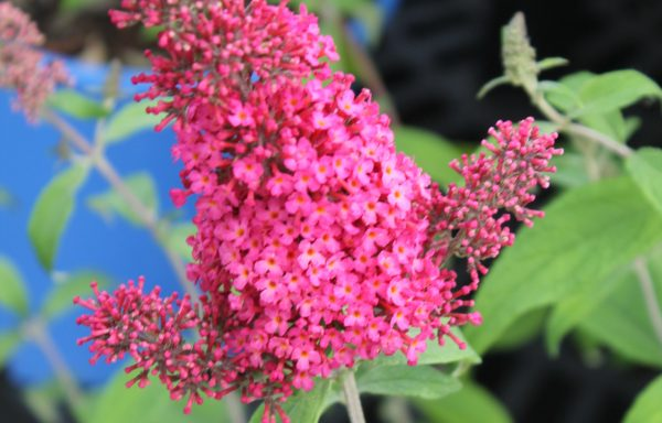 Butterfly Bush 'Prince Charming'