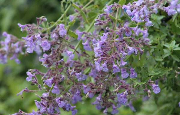 Catmint 'Junior Walker'