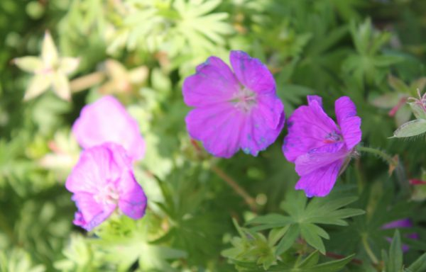 Cranesbill 'Spiked Punch'™