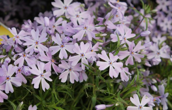 Phlox, Creeping 'Emerald Blue'