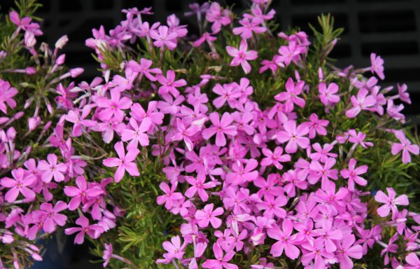 Phlox, Creeping 'Emerald Pink'