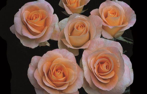 Rose 'Day Breaker'