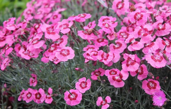 Dianthus 'Peppermint Star'