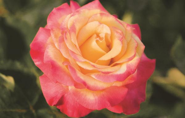 Rose 'Dream Come True'