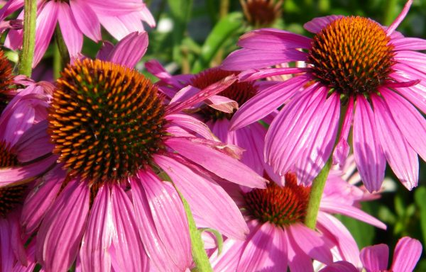 Coneflower, PowWow™ 'Wildberry'