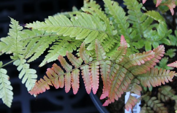 Fern, Autumn 'Brilliance'