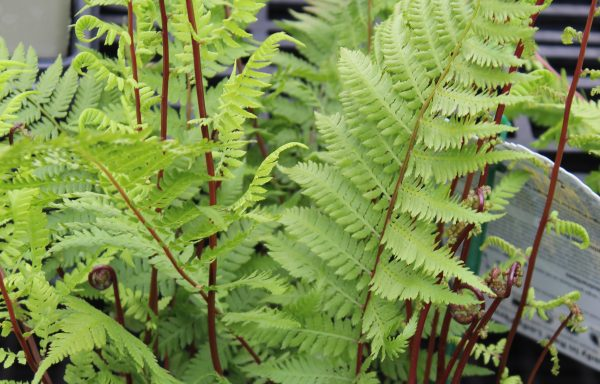Fern 'Lady In Red'