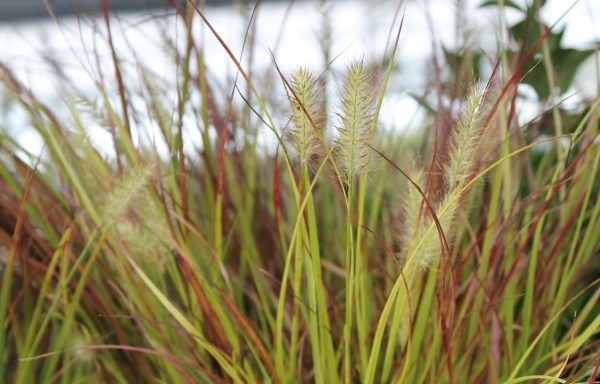 Grass, Dwarf Fountain 'Burgundy Bunny'
