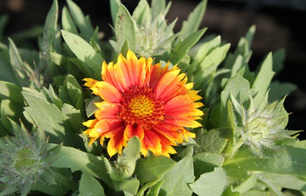Blanket Flower, Arizona 'Sun'