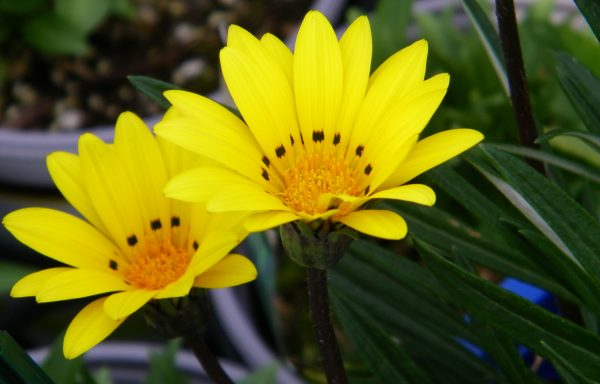 Gazania 'Colorado Gold'