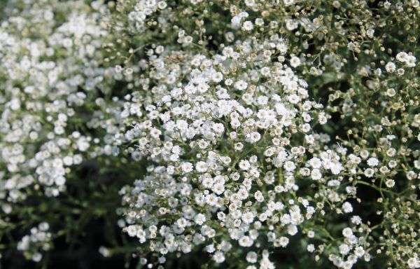 Baby's Breath 'Summer Sparkles'