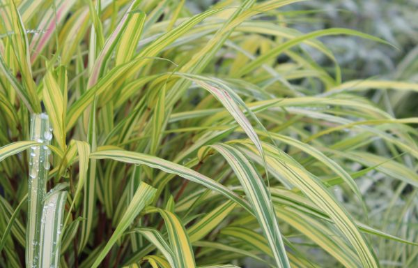 Grass, Japanese Forest 'Golden'