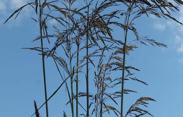 Grass, Pampas Hardy