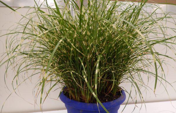Grass, Maiden 'Bandwidth'