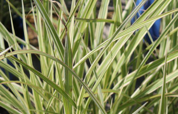 Grass, Maiden 'Dixieland'