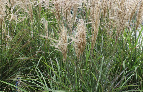 Grass, Maiden 'Oktoberfest'
